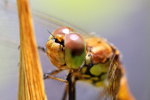 Dragonfly, Insect, Nature, Macro, Wing, Close Up