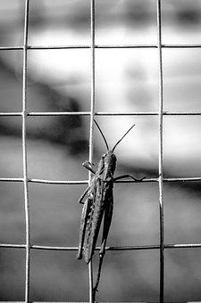 Desert Locust, Insect, Insects, Nature, Garden, Grid