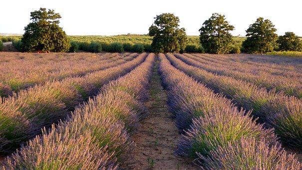 Lavender, Field, Flowers, Purple