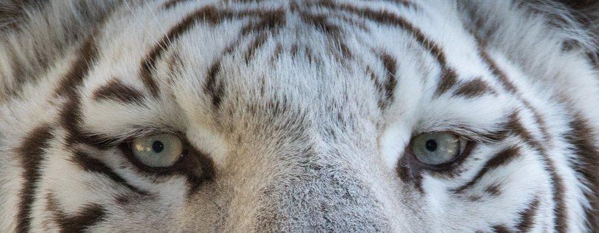 Tiger, Animal, Eyes, Look, Danger, Jungle, Zoo
