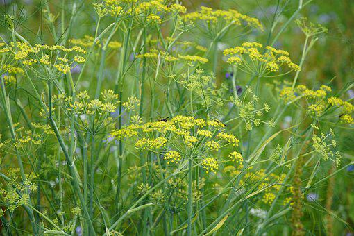 Asparagus, Flowers, Yellow, Meadow, Insects, Wasp