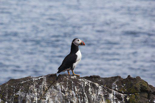 Puffin, Bird, Nature, Wildlife, Seabird, Rock, Island