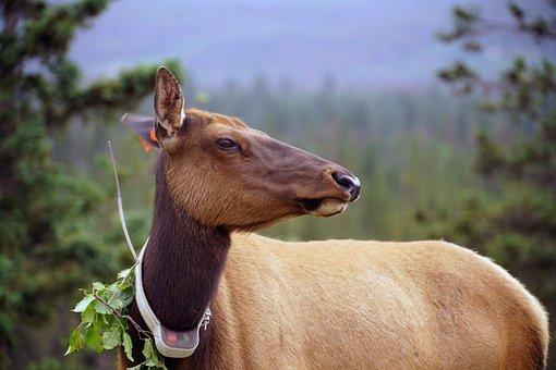 Elk, Radio Collar, Tag, Nature, Radiocollared