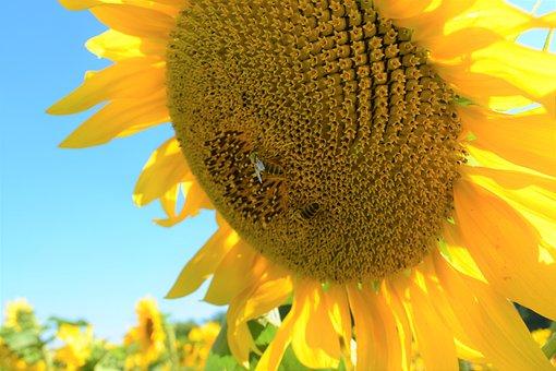 Sunflower, Flower, Bee, Nature, Love Nature, Summer