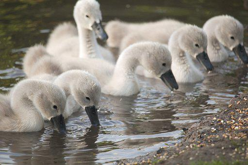Cygnets, Six, Birds, Feeding, Wildlife, Swans, Young
