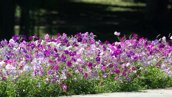 Flowers, Petunias, Violet, White, Purple, America