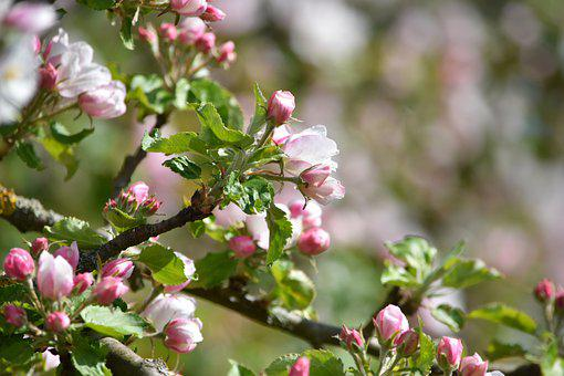 Apple Blossom, Spring, Summer
