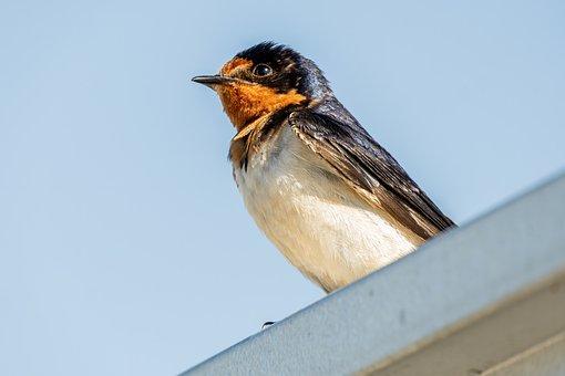 Barn Swallow, Fledgling Swallow, Baby Swallow, Swallow