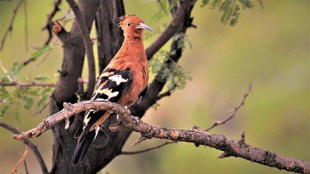 Orange, Bird, African Hoopoe