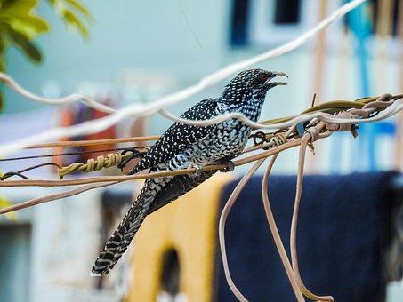 Asian Coyal, Coyal, Bird, Birding, Bird Love