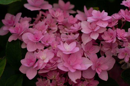 Hydrangea, Double, Pink, Bloemscherm