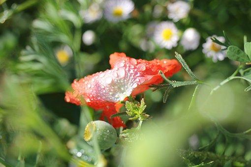 Flower, Blossom, Bloom, Faded, Poppy, Drip, Dew, Rain