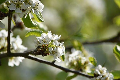 Pear Blossom, Spring, Summer, Pear, Bloom, Branch, Tree