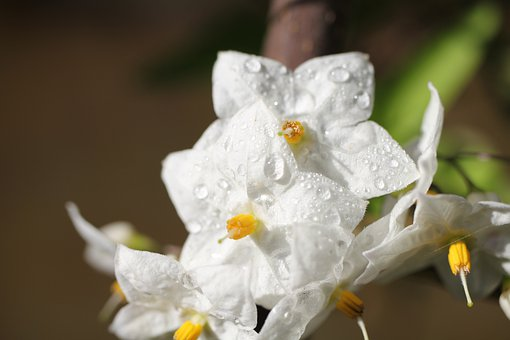 Flower, White, Plant, Blossom, Bloom, Drop Of Water