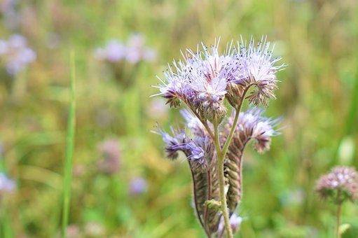 Flower, Field, Summer, Nature, Blossom