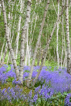 Park, Trees, Meadow, Flower Meadow, Purple, Bluebells