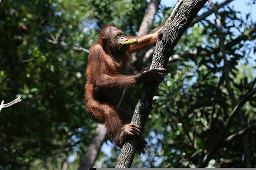 Orangutan, Ape, Climbing, Borneo, Malaysia, Animal