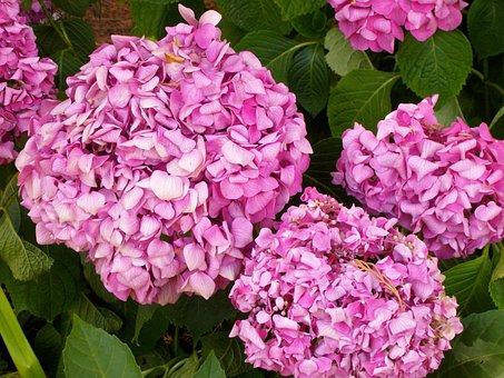 Hydrangea, Fuchsia, Pink-bright, Pink, Botany, Flowers