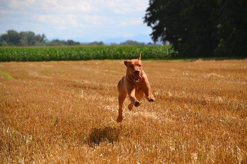 Dog, Guard Dog, Purebred Dog, Large, Fur, Brown, Shiny