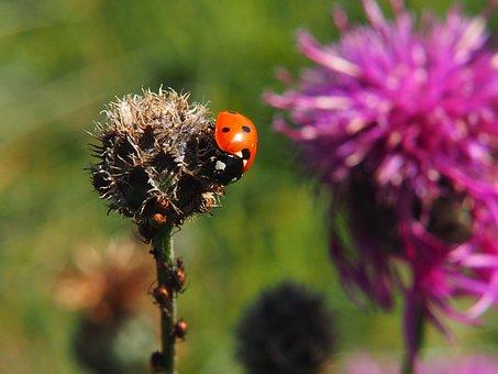 Bug, Fly, Ladybird, Insect, Hampshire, Uk Nature