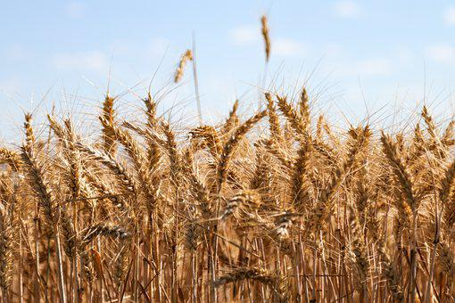 Wheat, Agriculture, Cereals, Field