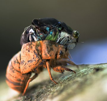 Cicada, Metamorphosis, Insects, Wildlife, Bugs, Nature