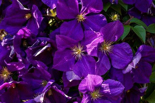 Clematis, Purple, Climber Plant, Petals