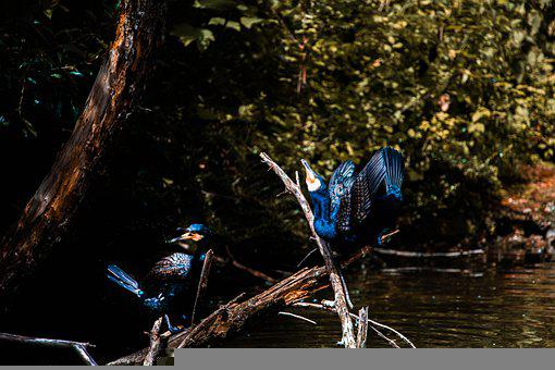 Cormorant, Bird, River, Animal, Feather, Wildlife