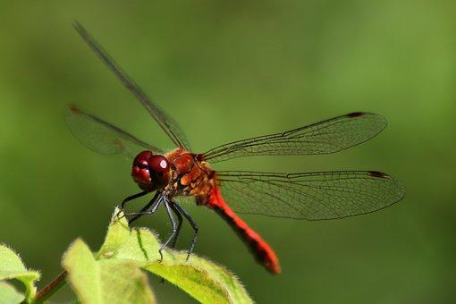 Dragonfly, Crimson Heidelibelle, Insect, Animal