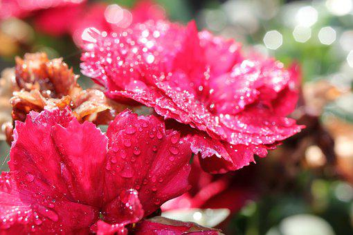 Carnation, Red, Drop Of Water, Flower, Blossom, Bloom