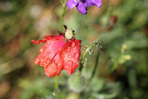 Flower, Blossom, Bloom, Faded, Poppy, Red, Drip, Plant