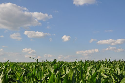 View, Field, Corn, Sky, Summer, Blue, Green, Landscape