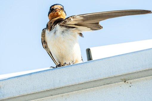 Barn Swallow, Fledgling Swallow