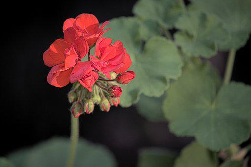 Geranium, Sunset, Flower, Plant, Flora