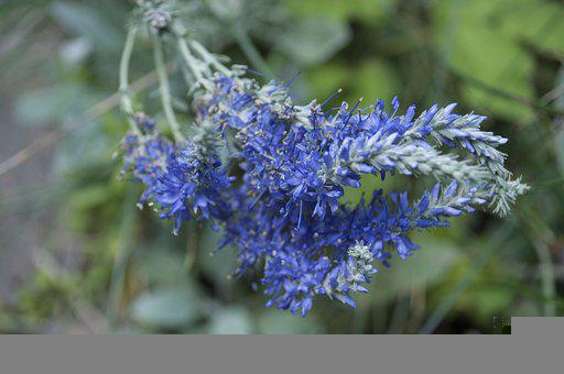 Flower, Summer, Nature, Lavender