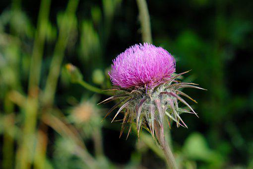 Thistle, Flower, Plant, Nature, Flora, Blossom, Bloom