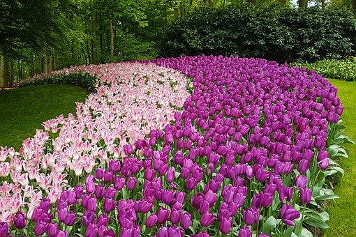 Tulips, Amsterdam, Garden, Flowers, Keukenhof, Holland