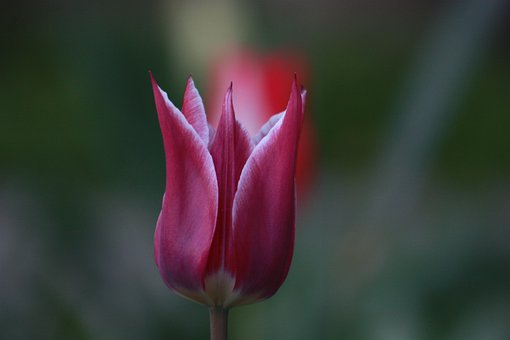 Tulips, Flowers, Garden, Nature, Bloom, Red, Colorful
