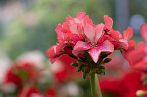 Pelargonium, Geranium, Red, Flowers, Balkonplant