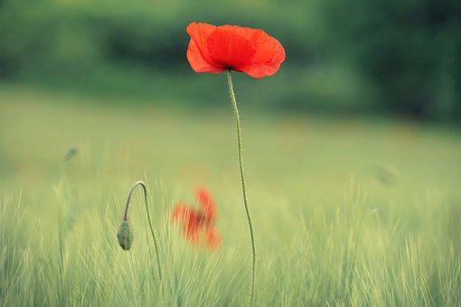 Poppy, Summer, Bright, Flowers, Nature, Plant, Green