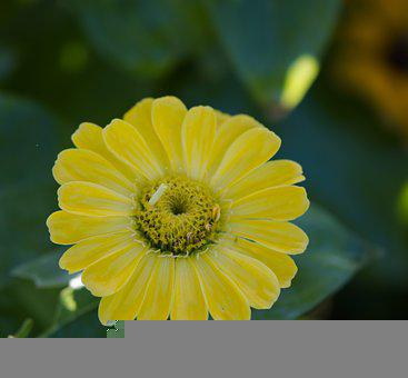 Zinnia, Yellow, Nature, Flowers, Summer, Tall Flowers