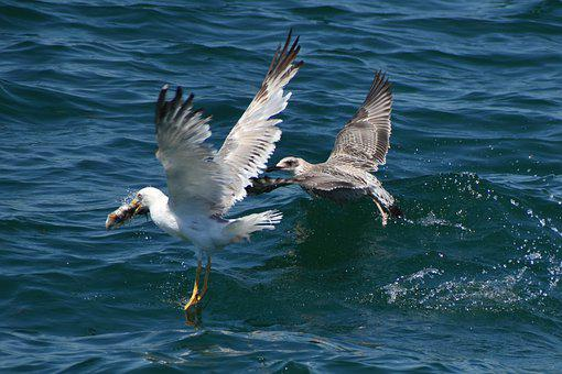 Seagulls, Birds, Wings, Flight, Sea, Animal, Flying