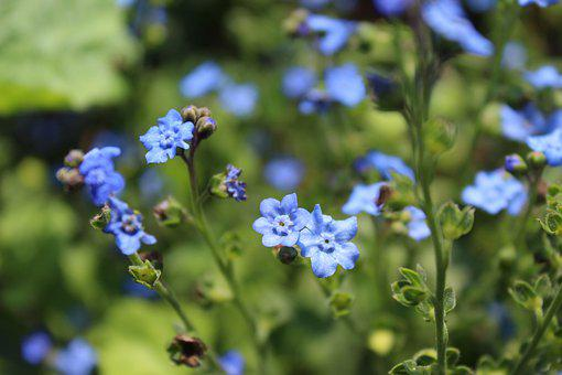 Blue, Flower, Forget-me-not, Blossom, Tiny