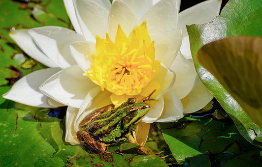 Water Lily, Frog, Amphibian
