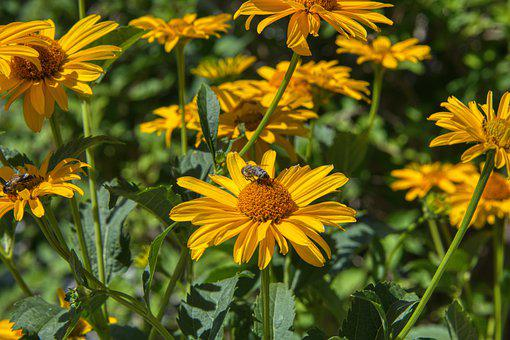 Yellow Marguerites, Flower, Garden, Bees, Insect