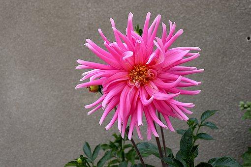 Dahlia, Color Pink, Flowers, Garden, Gardening