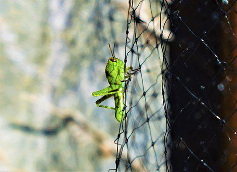 Grillo, Grasshopper, Insect, Paws
