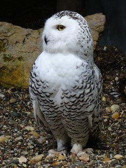Owl, Snowy Owl, Hedwig, Raptor, Bird, Plumage, White