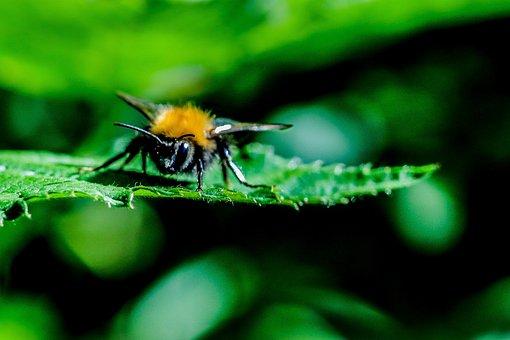 Acker Hummel, Hummel, Hymenoptera, Queen, Insect, Green