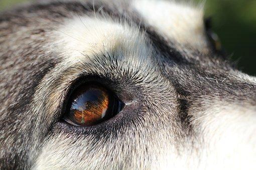 Dog, Husky, Eye, Close Up, Pet, Face